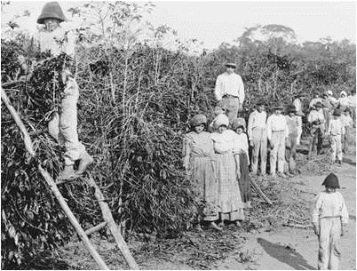 Old photo in black and white. Several workers, men and women in front of a large coffee plantation. On the left, a worker stands out on a rustic ladder supported by the coffee plantation.