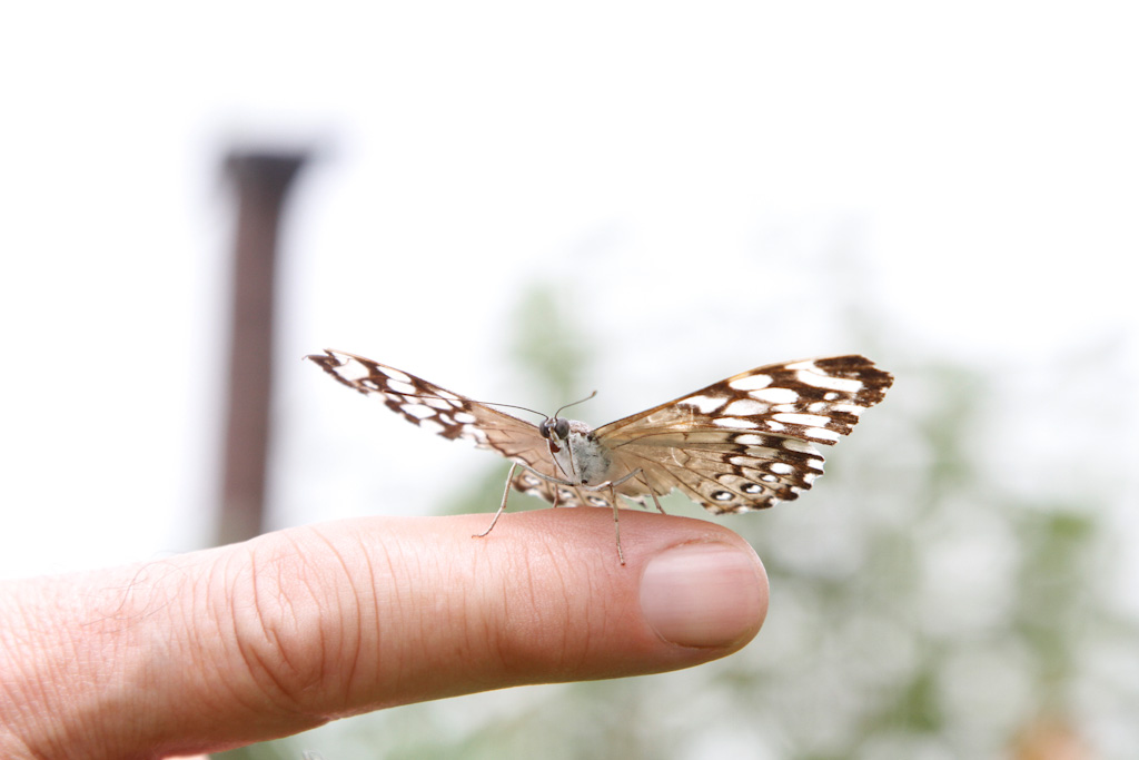 Close-up image of a forefinger, with a beige and dark brown wings butterfly with white balls, lodged on it. In the background, a very blurred image of a tree and a thin brown column.