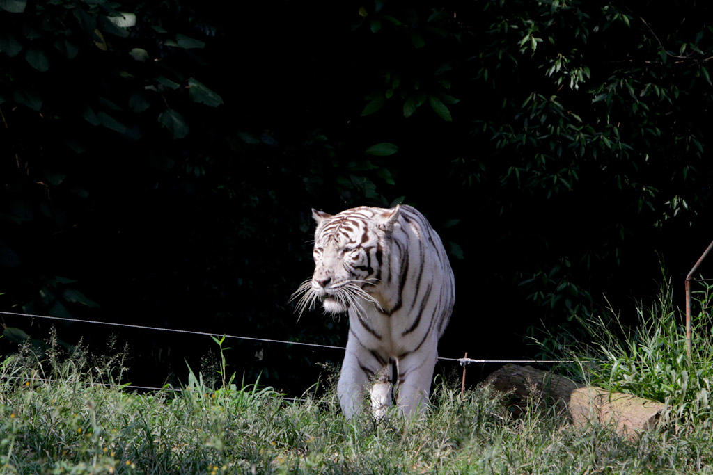 In the spotlight, a large albino tiger seen from the front, walking quietly on a scrub.