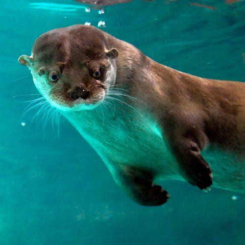 Foto em close up de uma Ariranha nadando no fundo de um grande aquário.