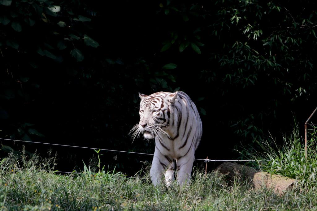 Em destaque, um grande tigre albino visto de frente, caminhando tranquilamente sobre uma vegetação rasteira.